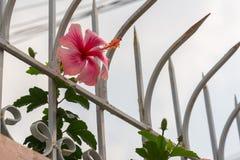 Chaba Flower Royalty Free Stock Image