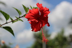 Chaba flower. Red chaba flower in the garden Royalty Free Stock Photos