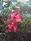 Chaba& rojo x27; s Fotos de archivo