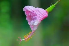 Chaba rosado, flor del hibisco en Tailandia Imagenes de archivo