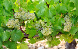 Chablis grapes, near Auxerre, Burgundy, France Stock Photography