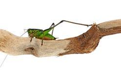 Chabrieri Eupholidoptera - έντομο γρύλων των Μπους   Στοκ Εικόνα