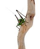 Chabrieri Eupholidoptera, έντομο γρύλων των Μπους Στοκ Φωτογραφίες
