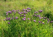 Chabrowa łąka Zdjęcie Royalty Free