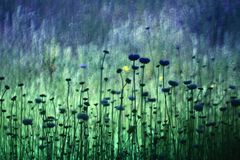Chabrowy Centaurea i unikalna plama obraz stock