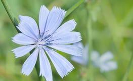 Chabrowy makro- widok Błękitny kolorów płatków kwiat, selekcyjna ostrość Obraz Royalty Free