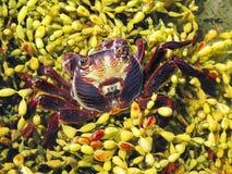 chabrus螃蟹plagusia红色岩石 免版税库存照片