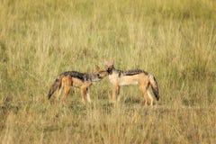 Chacais com o dorso negro no Masai Mara imagens de stock royalty free