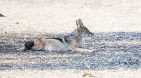 Chacal à dos noir en Afrique sur les plaines de Bostwana photo stock