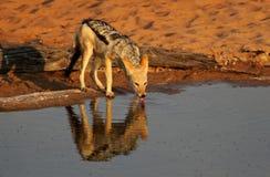 Chacal à dos noir par le waterhole de désert de Kalahari Photographie stock