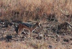 Chacal africano Imagenes de archivo