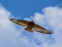 Chacal Buzzard Photo libre de droits