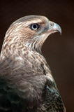 Chacal Buzzard Photographie stock