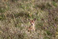 Chacal curieux mais timide photos libres de droits