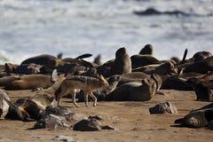 Chacal dans la colonie de fourrure-sceau, côte squelettique Images libres de droits