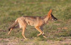Chacal de espalda negra alerta (mesomelas del Canis) Foto de archivo