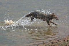 Chacal de oro que corre en el agua la India Imagen de archivo libre de regalías