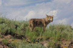 Chacal em yellowstone Fotos de Stock Royalty Free