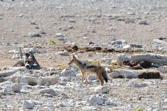 Chacal - Etosha, Namíbia Imagens de Stock Royalty Free