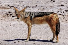 Chacal in Etosha  parc Stock Images
