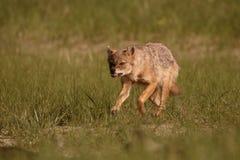 Chacal europeo, moreoticus aurífero del Canis Imagen de archivo