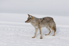 Chacal, inverno, Yellowstone NP Fotografia de Stock