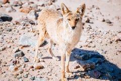 Chacal (latrans do Canis) no Vale da Morte imagens de stock
