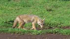 Chacal no Serengeti vídeos de arquivo