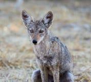 Chacal novo & x28; Latrans& x29 do Canis; fotografia de stock