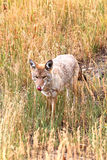 Chacal ocidental (latrans do Canis) Imagens de Stock Royalty Free