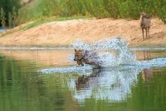 Chacal que corre através de um rio foto de stock royalty free