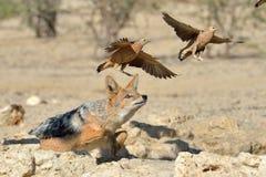 Chacal que persigue urogallo de arena Imagen de archivo libre de regalías