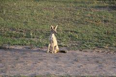 Chacal rayé latéral dans le maasai sauvage Mara Images libres de droits