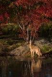 Chacal & x28; Latrans& x29 do Canis; Uivos na lagoa Fotos de Stock Royalty Free