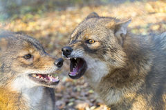 Chacales de oro (Canis aurífero) Imagen de archivo