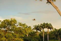 Chachalaca飞行在一个小的密林 免版税库存图片