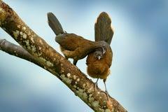 chachalaca à tête grise, cinereiceps d'Ortalis, amour d'oiseau, oiseau tropical exotique, arbre d'habitat de nature de forêt, ros Image libre de droits