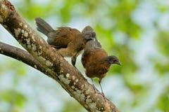 chachalaca à tête grise, cinereiceps d'Ortalis, amour d'oiseau, oiseau tropical exotique, arbre d'habitat de nature de forêt, ros Photos stock