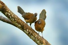 chachalaca à tête grise, cinereiceps d'Ortalis, amour d'oiseau, oiseau tropical exotique, arbre d'habitat de nature de forêt, ros Photo libre de droits
