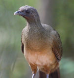 Chachalaca Royalty Free Stock Images