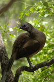 Chachalaca. A chachalaca perched on a branch in tropical texas Stock Photos