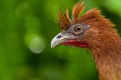 Chachalaca ortalis erythroptera bird from Ecuador Royalty Free Stock Images