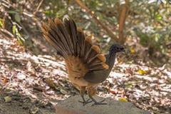 Chachalaca ptak z roznieconym ogonem fotografia stock
