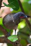 Chachalaca Rufus-exhalé, ruficauda d'Ortalis Photo libre de droits