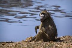 Chacma狒狒在克鲁格国家公园,南非 图库摄影