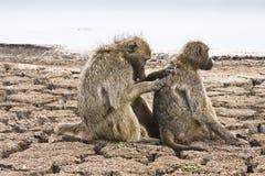 Chacma狒狒在河岸, kruger bushveld,克鲁格国家公园,南非中 免版税库存图片