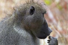 Chacma狒狒(狒狒ursinus)在克留格尔国家公园 免版税库存图片