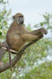 Chacma狒狒(狒狒ursinus) 免版税库存图片