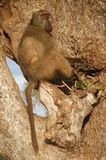 Chacma狒狒(狒狒ursinus) 免版税图库摄影