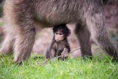 chacma младенца павиана Стоковая Фотография